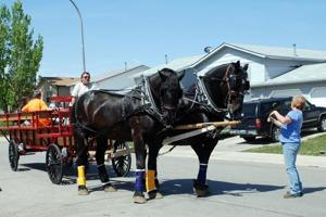 Draft Horses in Town