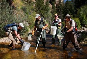 Cutthroat trout in Big Horn Mountains relocate