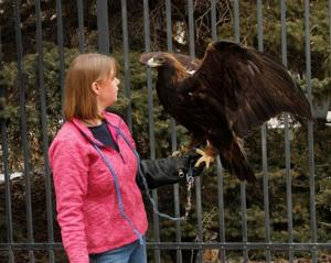 Eagle joins birds at Cody museum facility