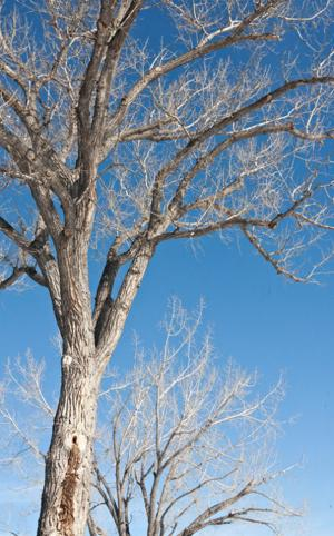 How's that tree holding up? City of Gillette aims to find out