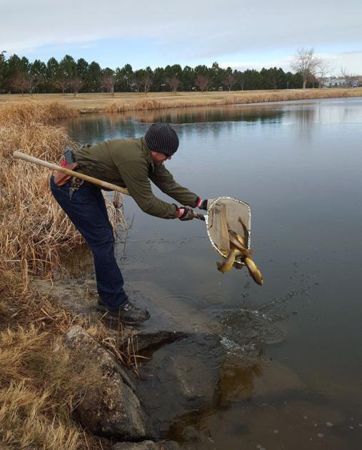 270 brown trout stocked in gillette fishing lake for for Stocked trout fishing