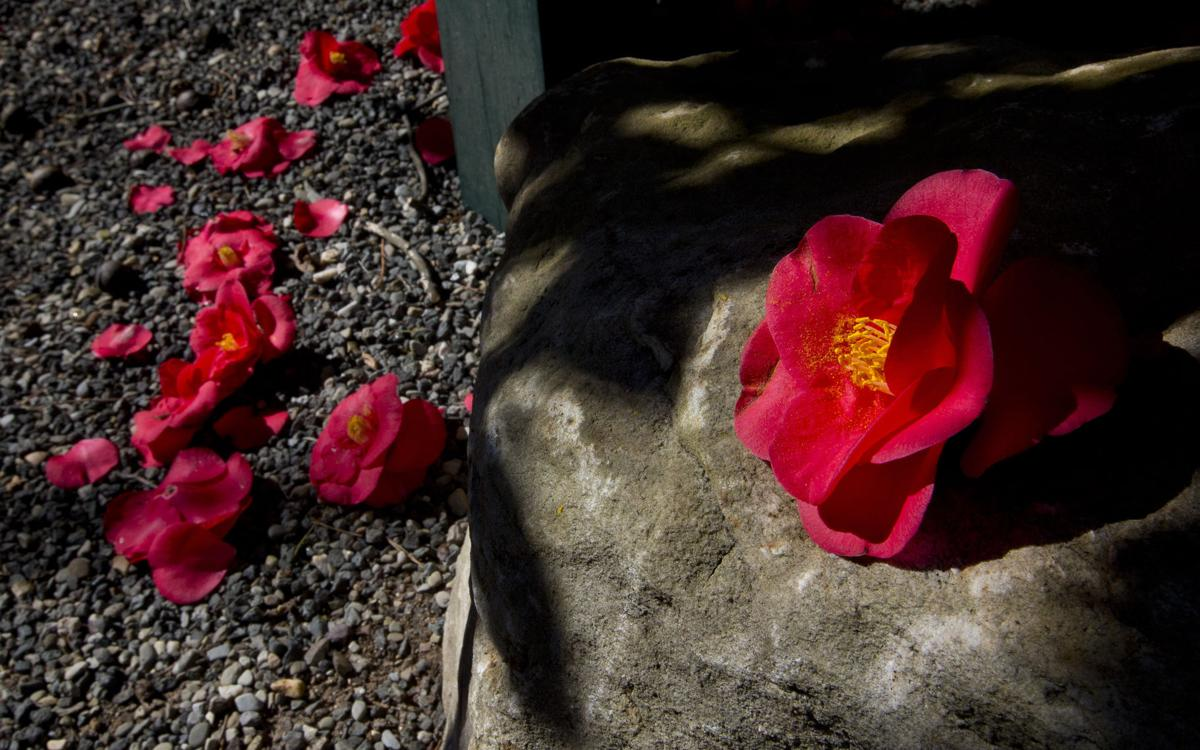 Greensboro Red Camellia Thank You For Your Winter Blooms Local News
