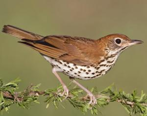 <p>The shy and reclusive wood thrush is a regular spring and summer visitor to Louisiana, bringing with it one of the bird-world's most beautiful songs. </p>