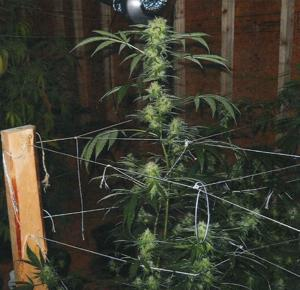 Marijuana grow operation busted