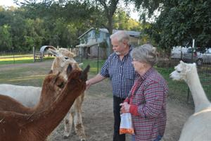 Feeding the alpacas