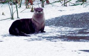 Otter here