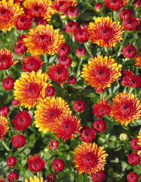 Mum's the word: Sun Prairie market features mums from America's Best this Saturday