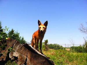 red fox at MacKenzie'