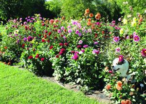 A dahlia delight Country garden has thousands of blossoms