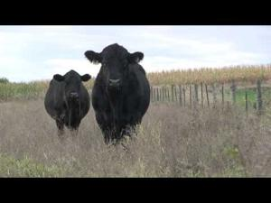 Angus VNR: The 'best bull' is relative