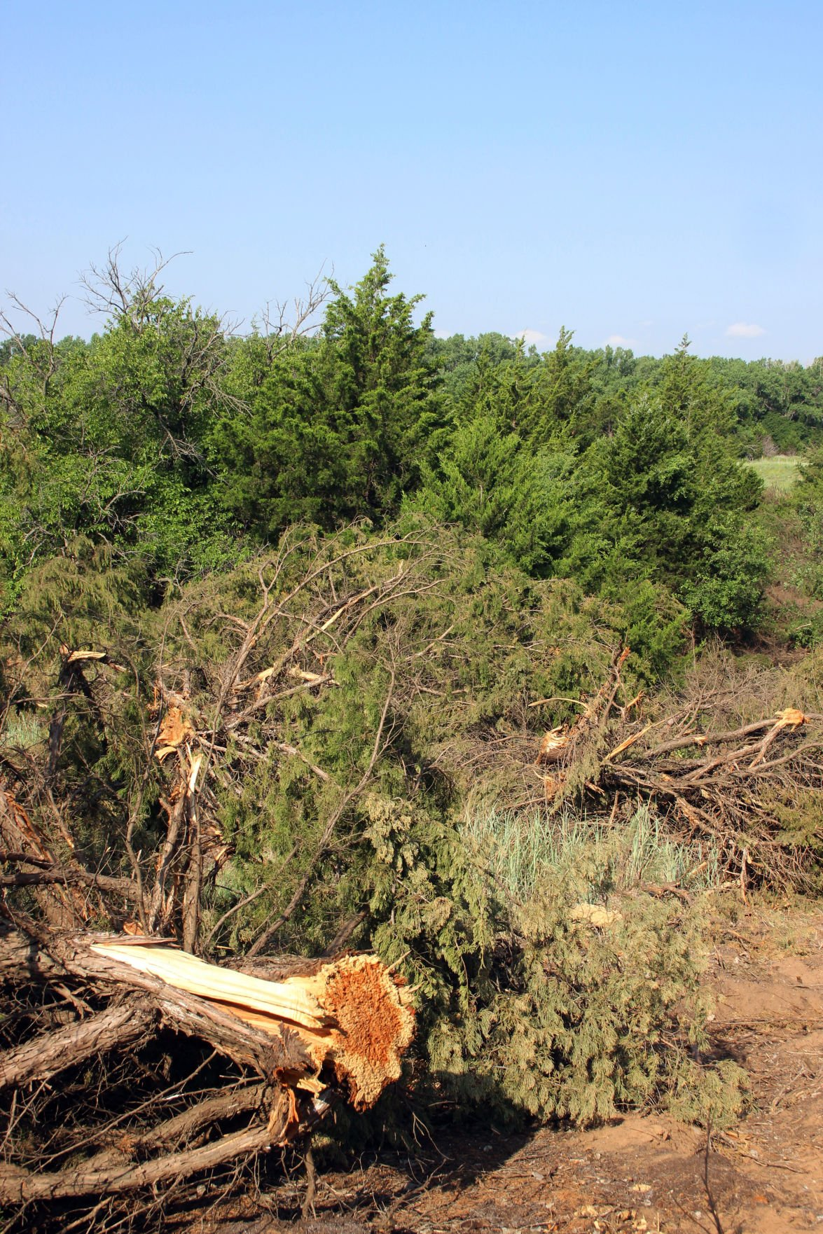 Pictures of cedar trees - The Disruptive Invasion Of Cedar Trees Such As Eastern Redcedar Blueberry Juniper And Redberry Juniper Has Become A Major Issue For Rangelands
