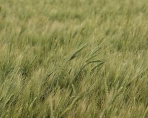 <p>This field of winter durum wheat is bound for a Kansas City pasta manufacturer after harvest. Ray Brengman, Lakin, Kansas, has been working on breeding a winter durum wheat for 17 years and has two varieties in production in southwest Kansas. (Journal photo by Jennifer M. Latzke.)</p>