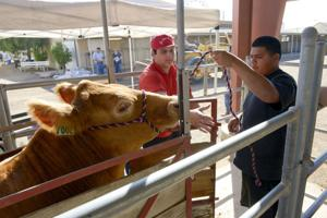 FFA, Imperial County 4-H, Imperial Valley Grange animal projects move into fairgrounds