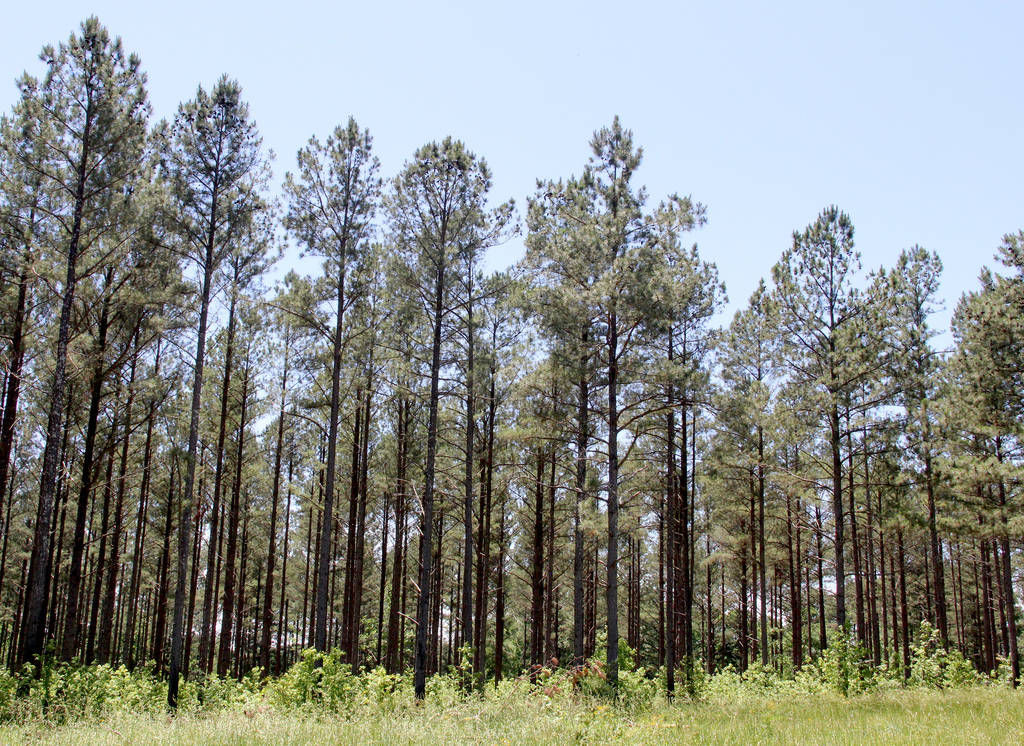 Thinning burning helps prevent pine stand disease and for Pine tree timber