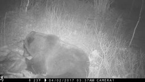 Trail camera detects griz up Game Creek