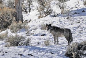 Wolf challenge