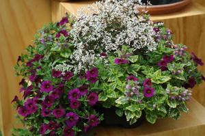 Use deadnettle to liven up cool spring containers
