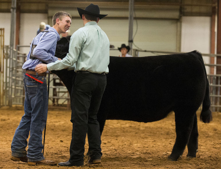 Bell County Youth Fair - steer judging