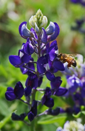 Bluebonnet: A honeybee pollinates Lady Bird Johnson Royal Blue bluebonnet. - Photo by Texas A&M AgriLife Extension Ser