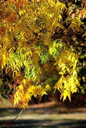 Gardening: The Chinese pistache tree offers reliable fall color and durability, making it one of the best trees for the urban landscape. It's also a Texas Super Star Winner and grows well in Central Texas soils. - Photo by MCT Photo