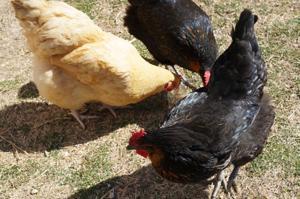 Cove chickens