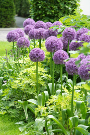Bulbs-Alliums: This undated photo provided by Dig.Drop.Done shows the Globemaster Allium, a hybrid that is bred for superior strength. Growing at heights up to 5 feet tall, it's a show stopper. Beautiful and sturdy with a flair for the dramatic, alliums are a graceful way to add color and architectural dimension to your garden. - Courtesy