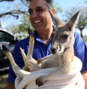 Wild - Kangaroo