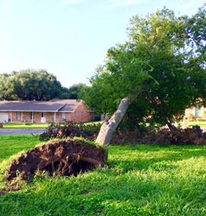 Recent rains may send trees toppling over
