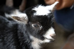 New Baby Goat at BLORA