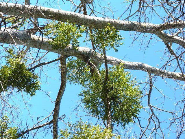Get rid of mistletoe