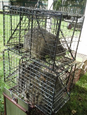 RIDDING HOME OF NUISANCE ANIMALES: Two groundhogs are caged waiting to be transported from a home where they were captured in Uniontown, Ohio. - Photo by Mary Beth Breckenridge | Akron Beacon Journal