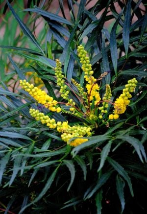GARDENING: The Soft Caress mahonia offers great texture, blooms and fruit. (MCT) - HANDOUT