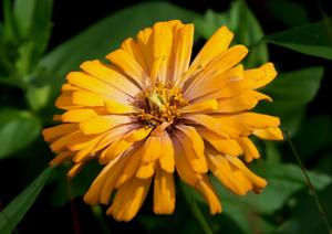 Storms make you appreciate floral beauty like old-fashioned zinnia