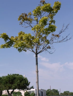 Red oak chlorosis