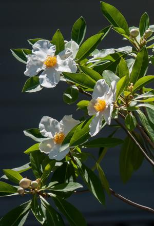 Sweet Tea Mountain Gordlinia makes landscape 'oh so sweet'