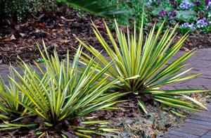 Hardy yuccas inject a jolt of color in any season
