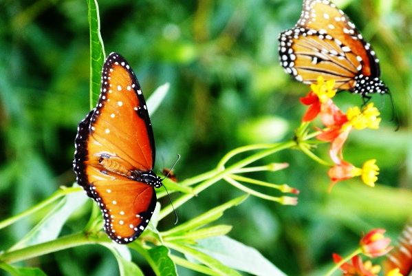 Butterfly comparison