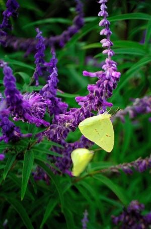 GARDENING: The Purple on Purple Mexican bush sage feeds a variety of butterflies including these suphurs. - HANDOUT