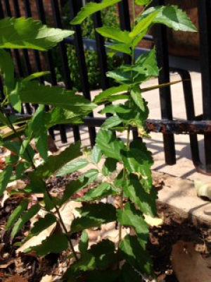 Hackberry: Trash tree  or treasure?