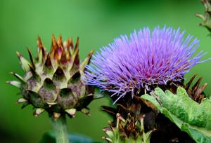 Companion Cardoon: Plant has ancient roots, modern popularity