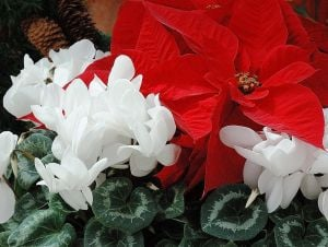 Gardening: Red poinsettias and white cyclamen create the perfect festive look for the holidays. (MCT) - HANDOUT