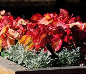 Gardening: The Picasso poinsettia looks hand painted and is even showier thanks to the silver leafed dusty miller. (MCT) - Photo by HANDOUT