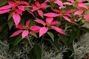 Gardening: This container of pink poinsettias and Silver Spike helichrysum make for a stunning holiday display. (MCT) - Photo by HANDOUT