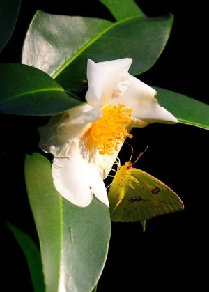 Fried Egg Plant: This yellow sulphur butterfly finds the fried egg plant, a camellia relative, is a tasty source of nectar. - MCT photo