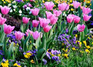 Start digging now to have Christmas tulip display in April