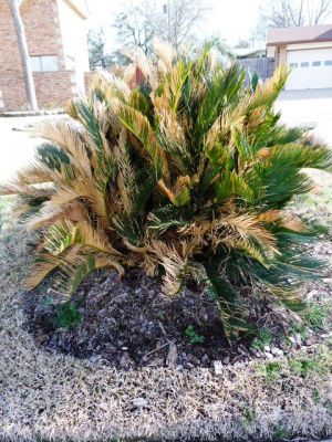 Sago palms hard to grow in Central Texas
