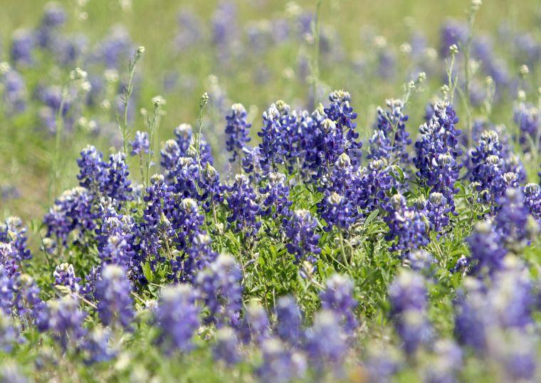 Communities - Texas Bluebonnet