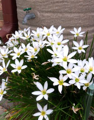 Rain Lilies: Rain lilies can be planted from the seeds the flowers produce, by planting the bulb, or even dividing a larger clump into several plants. Once they are planted and established, they need very little care. - Photo by Darla Horner Menking | Herald