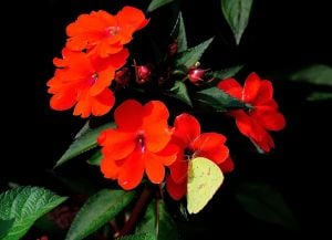 SunPatiens: Sulphur butterflies have found SunPatiens to be a good source of nectar. - Photo by MCT Photo