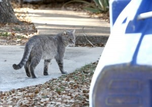 Cove feral cat ordinance